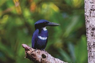 Blue-black Kingfisher  (photo copyright David Bishop)