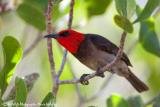 Red-headed Honeyeater  (photo copyright Marie Holding)