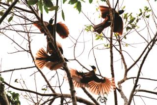 Red Birds of Paradise displaying  (photo copyright David Bishop)