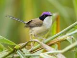 Purple-crowned Fairywren - Vic River  (photo copyright Laurie Ross)