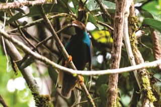 Male Wallace's Standardwing  (photo copyright David Bishop)