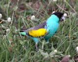 Hooded Parrot at Pine Creek  (photo copyright Stefan Schlick)