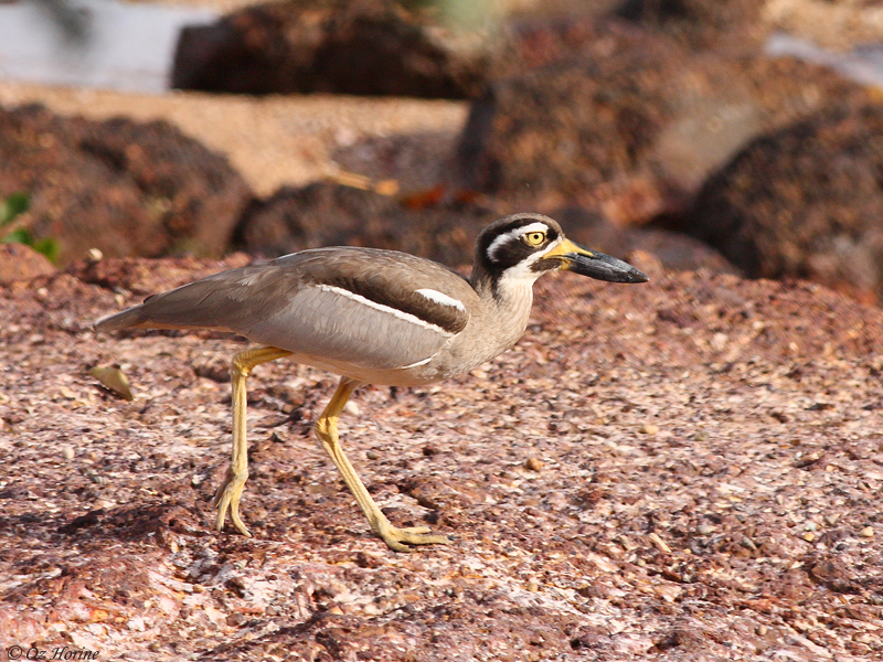 Beach Stone-curlew at East Point, credit Oz Horine