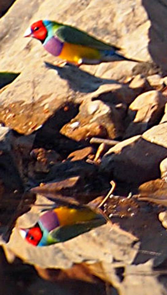 Gouldian Finches, credit Jon Fink