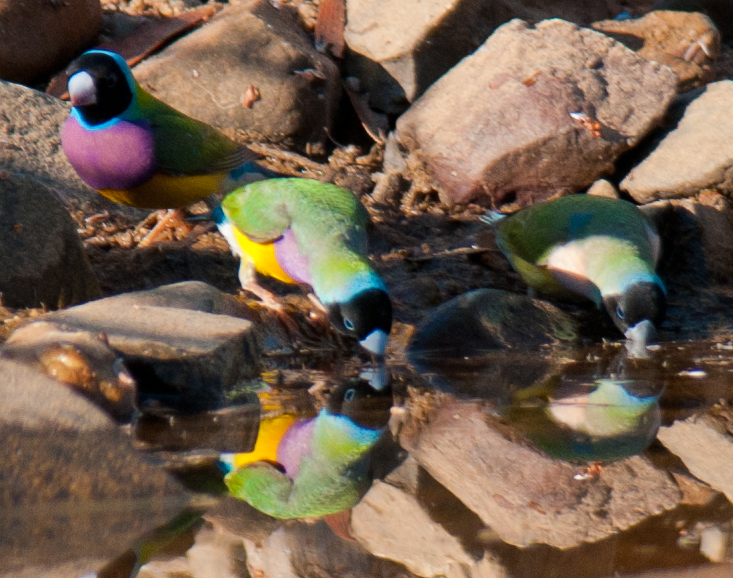 Gouldian Finches drinking, credit Frank Taylor