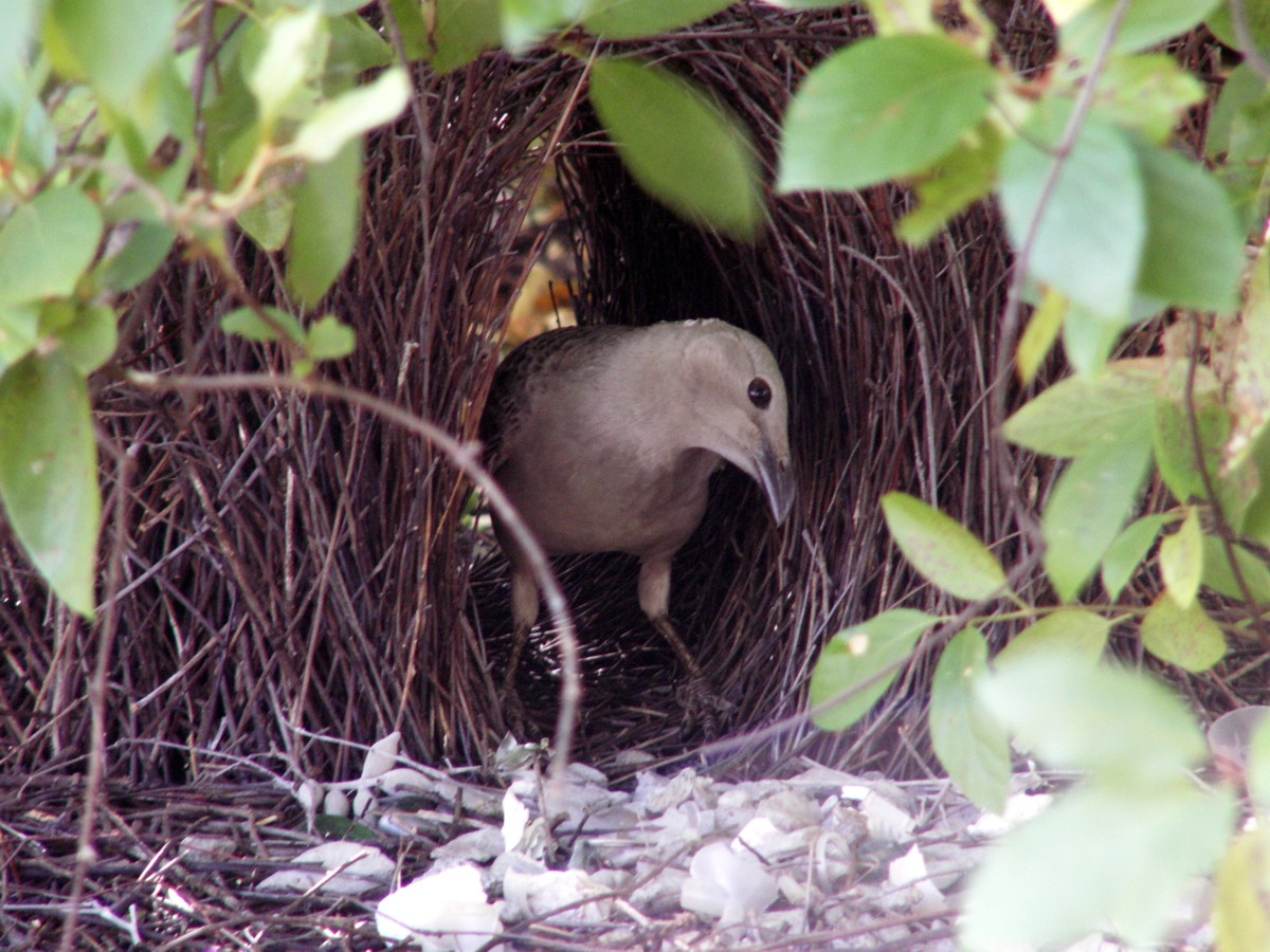 Great Bowerbird at bower