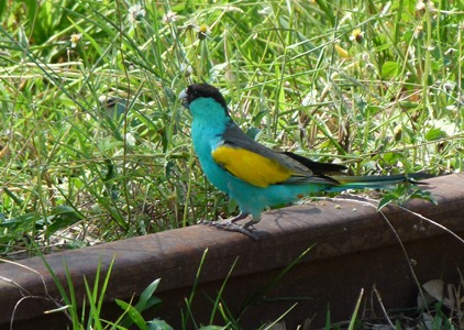 Hooded Parrot at Pine Creek