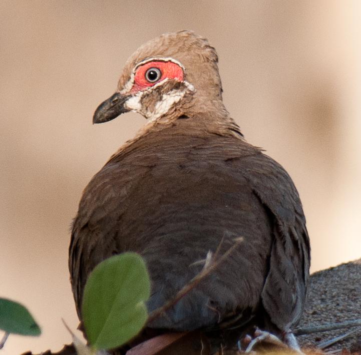 Partridge Pigeon copyright Frank Taylor