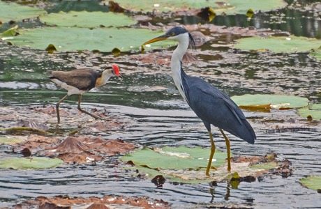 Pied Heron and Comb-crested Jacana - photo copyright Peter McKenzie
