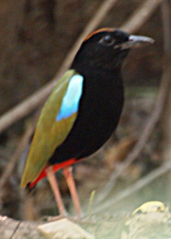 Rainbow Pitta at Burrunggui, credit Jon Fink