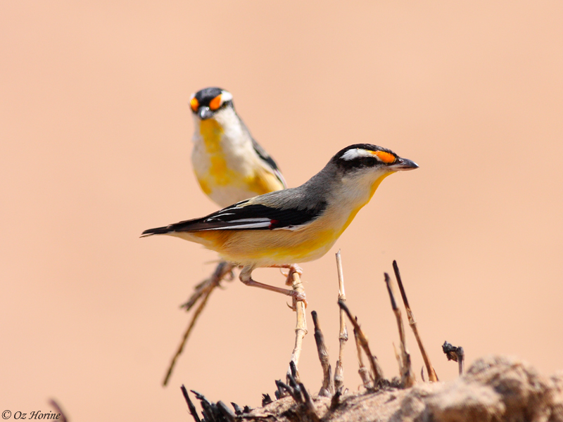 Striated Pardalotes, credit Oz Horine