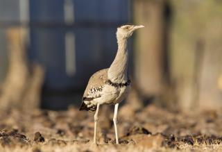 Australian Bustard - Vic River  (photo copyright Laurie Ross)