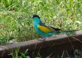 Hooded Parrot at Pine Creek  (photo copyright Mike Jarvis)