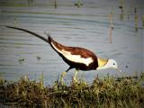 Pheasant-tailed Jacana  (photo copyright Mike Jarvis)