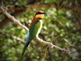 Chestnut-headed Bee-eater  (photo copyright Mike Jarvis)