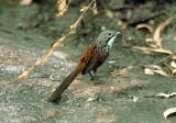 White-throated Grasswren  (photo copyright Ian Morris)