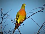 Orange-breasted Green Pigeon  (photo copyright Mike Jarvis)