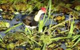 Male Comb-crested Jacana with nest and eggs  (photo copyright Mike Jarvis)