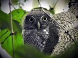 Jungle Owlet  (photo copyright Mike Jarvis)
