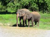 Asian Elephants at Uda Walawe National Park  (photo copyright Mike Jarvis)