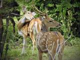 Spotted Deer  (photo copyright Mike Jarvis)