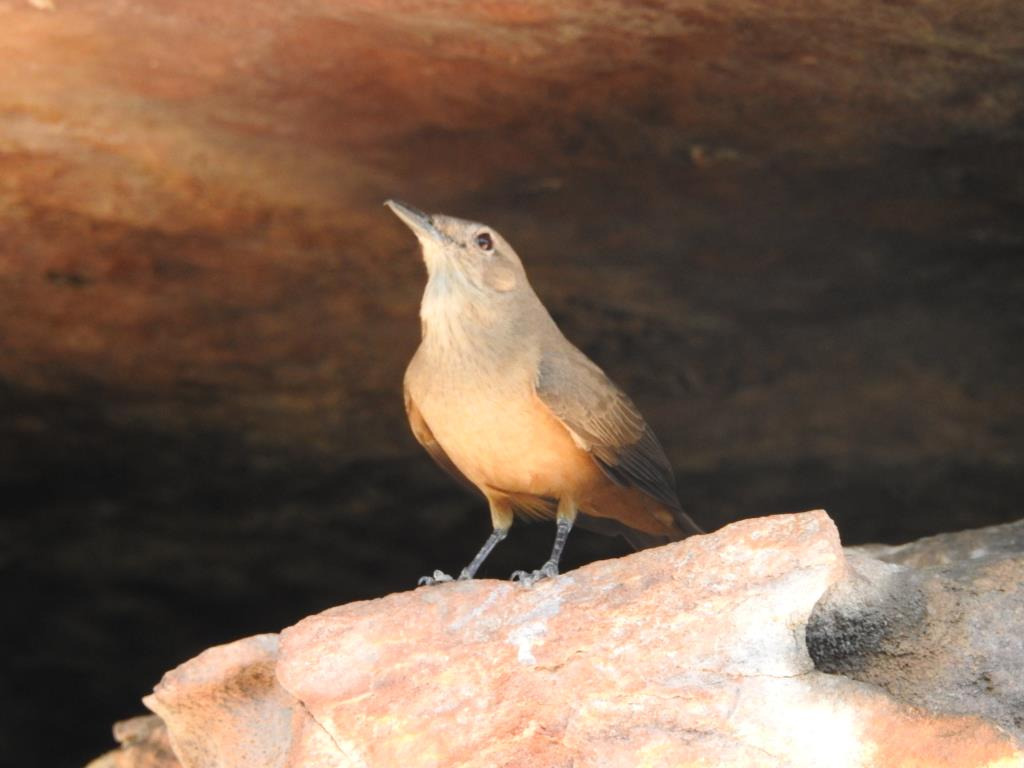 Sandstone Shrike-thrush near its nest at Ubirr rock art site  (photo copyright Mike Jarvis)