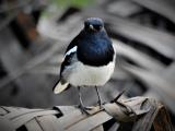 Oriental Magpie Robin  (photo copyright Mike Jarvis)