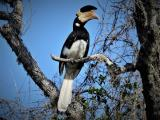Malabar Pied Hornbill  (photo copyright Mike Jarvis)