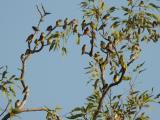 Flock of Gouldians about to come down to drink at a waterhole  (photo copyright Mike Jarvis)