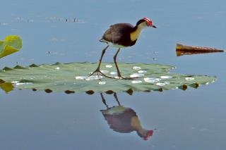Comb-crested Jacana  (photo copyright Ian Morris)