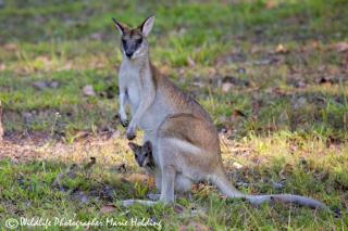 Agile Wallaby mother and joey  (photo copyright Marie Holding)