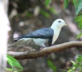 Banded Fruit Dove - endemic to the Arnhem Land Escarpment  (photo copyright Marc Gardner)
