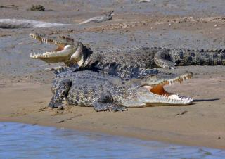 Estuarine Crocs  (photo copyright Ian Morris)