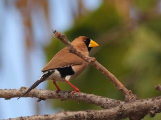 Masked Finch at Rapid Creek  (photo copyright Oz Horine)