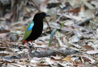 Rainbow Pitta at Howard Springs  (photo copyright Julian Teh)
