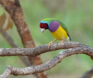 Gouldian Finch on the Marrakai Track  (photo copyright Mike Jarvis)