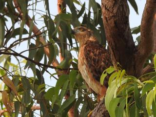 Red Goshawk, mature female, near nest in Kakadu National Park. One of Australia's rarest raptors, last estimate only 1400 birds in the wild and declining  (photo copyright Mike Jarvis)