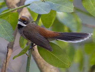 Arafura Fantail - Adelaide River  (photo copyright Laurie Ross)
