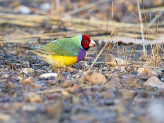 Gouldian (male) - Marrakai Track  (photo copyright Laurie Ross)