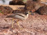 Beach Stone-curlew at East Point Rocks, Darwin  (photo copyright Oz Horine)