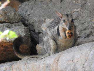 Wilkin's Rock Wallaby chomping on a pandanus nut at Ubirr  (photo copyright Mike Jarvis)