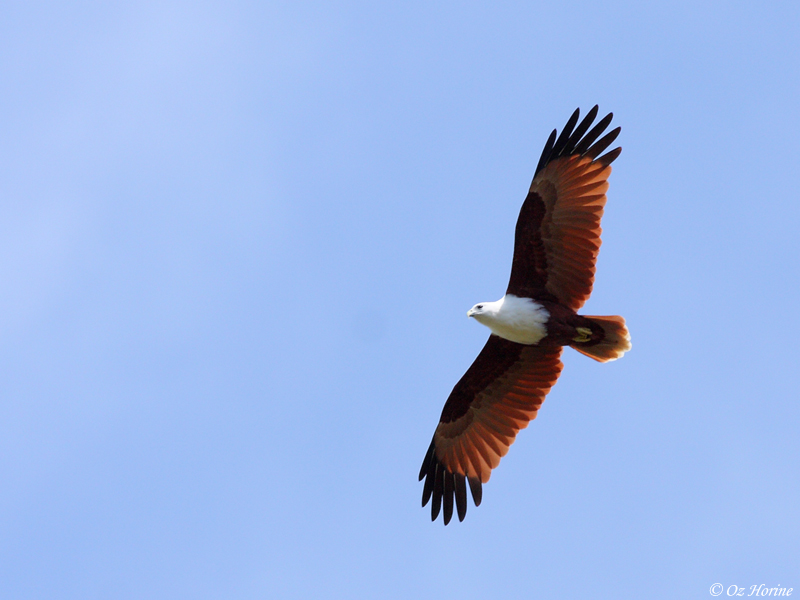 Brahminy Kite, credit Oz Horine