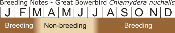 Great Bowerbird Breeding Notes