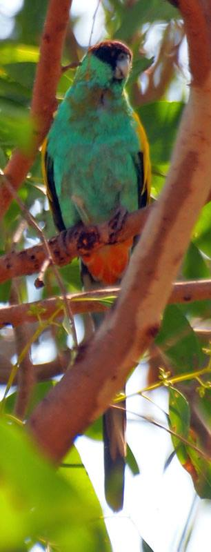 Hooded Parrot, credit Jon Fink