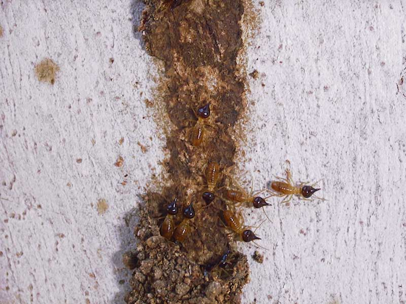 Nasutiterminae soldiers - photo copyright Graham Brown