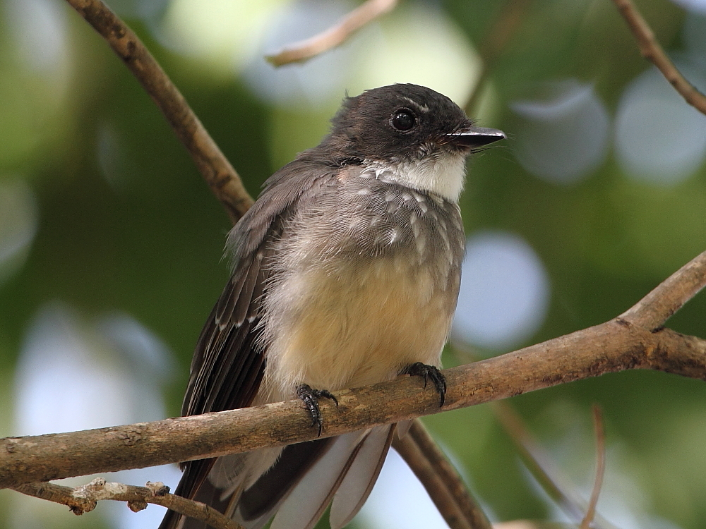 Northern Fantail at East Point taken by Dave Chilcott