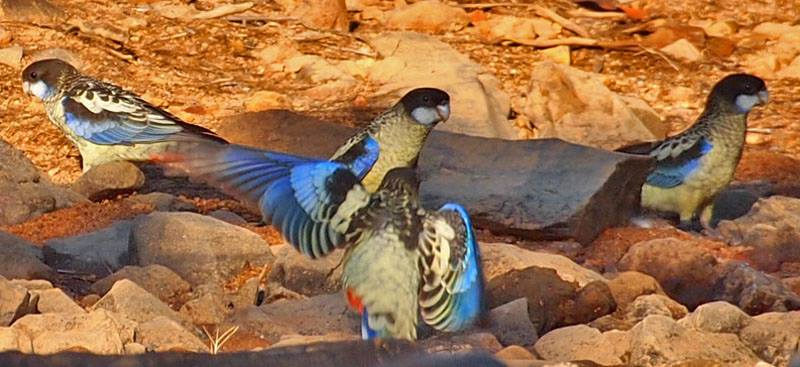 Northern Rosellas at Fergusson, credit Jon Fink