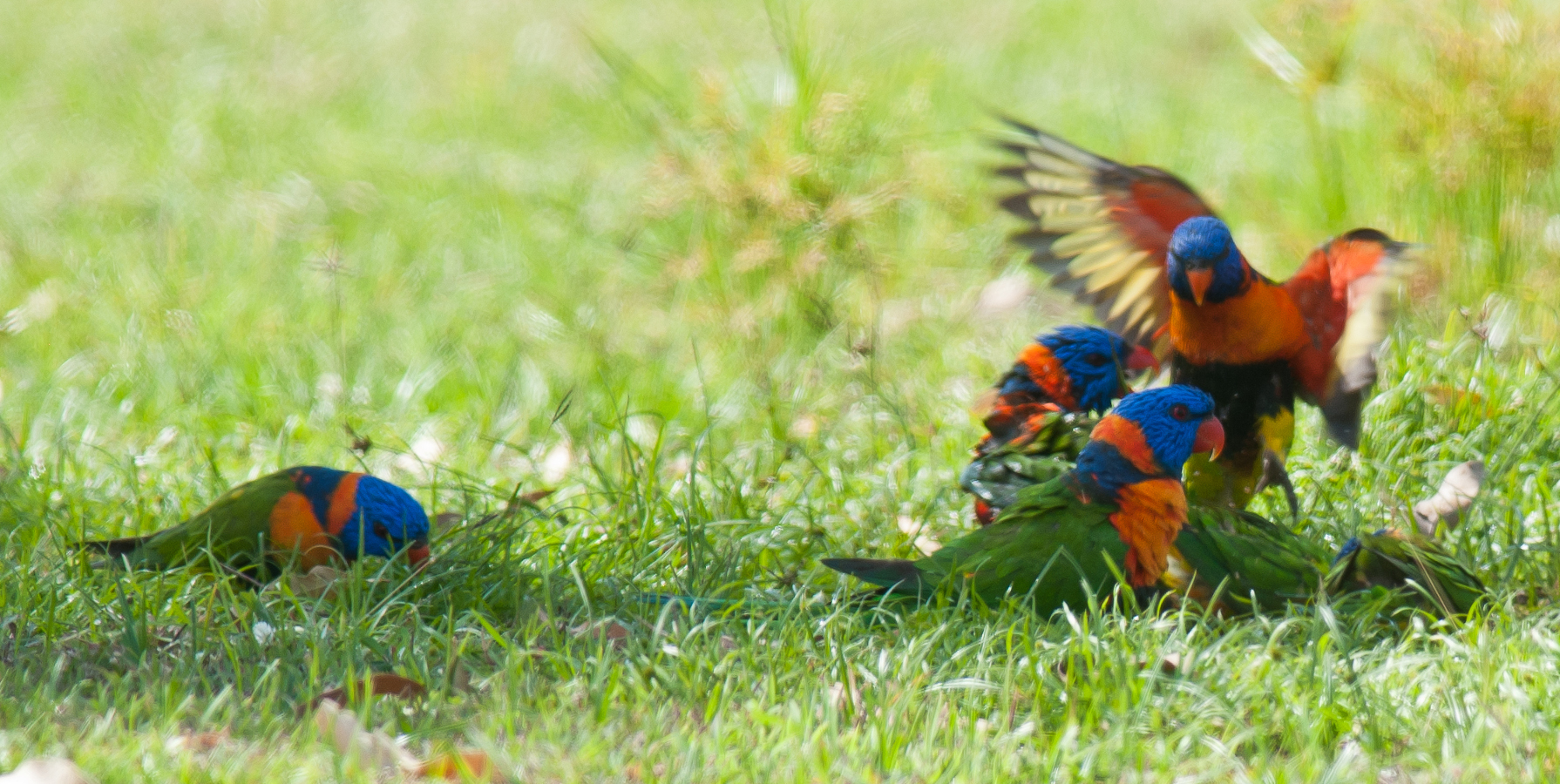 Red-collared Lorikeets at Pine Creek, credit Frank Taylor