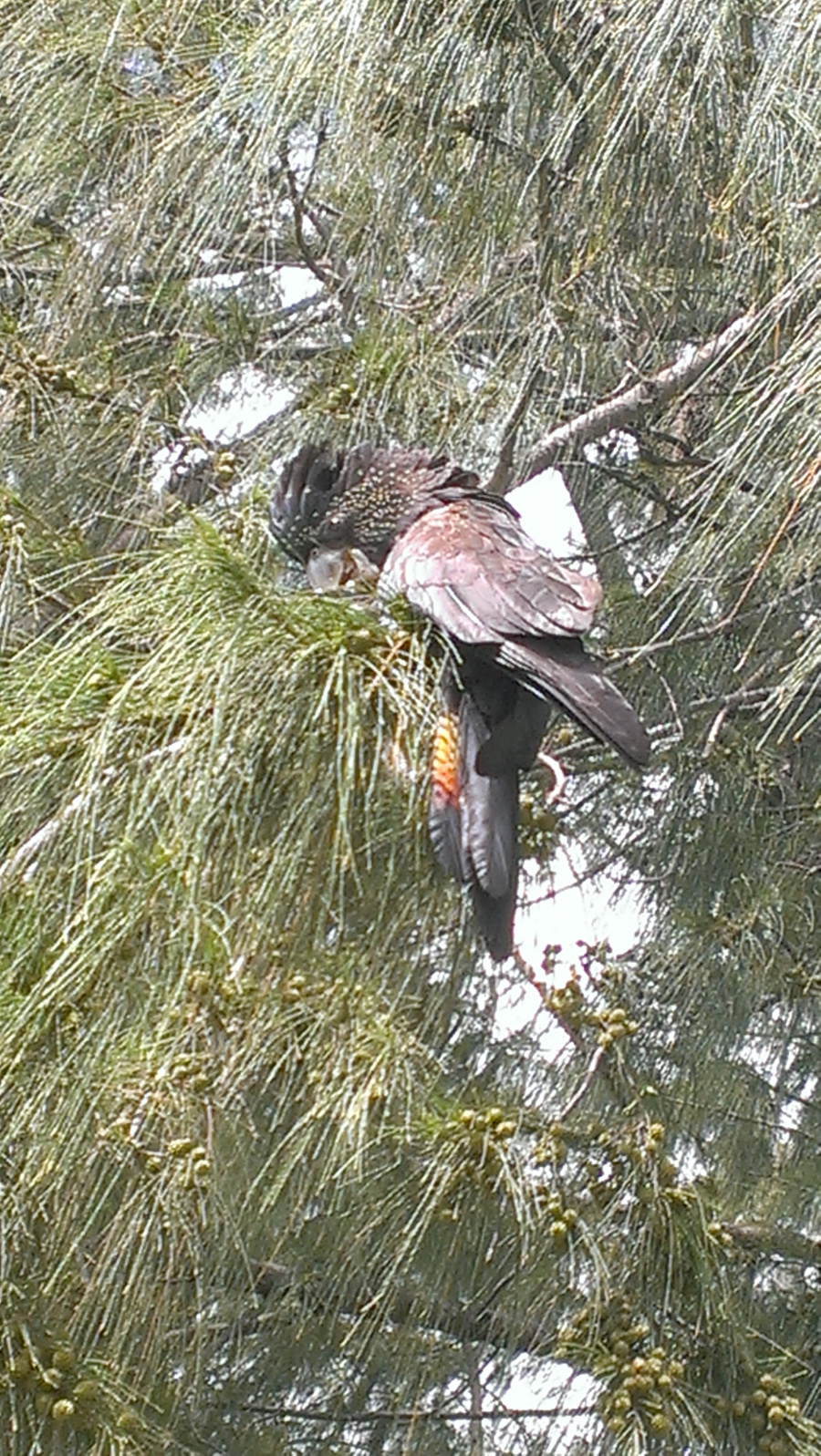 Female Red-tailed Black Cockatoo at Rapid Creek